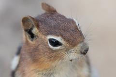 close-up Golden-mantled ground squirrel (Callospermophilus lateralis) (RonW's Nature Photography) Tags: goldenmantled ground squirrel callospermophiluslateralis callospermophilus lateralis spermophilus mammal mammals usa us unitesstates grandtetonnp teton animal wildlife nature canon 7dii 100400ii