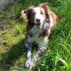 """Neues aus der beliebten Reihe""""nur ein dreckiger Hund ist ein glcklicher Hund."""" bordercollie #bordercolliesofinstagram #border #htehund #htehunde #herdingdog #herdingdogs #doglover #doglove #redbordercollie #dogsofinstagram #dogsofig #nase #hund #hunder (wandklex Ingrid Heuser freischaffende Knstlerin) Tags: ifttt instagram malaika bordercollie border hund dog wandklex privat private familie family meetthemaker huetehund herdingdog dogslife"""