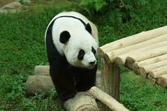 Fu Wa () aka Xing Xing 2016-06-17 (kuromimi64) Tags: zoonegara malaysia   zoo nationalzoo zoonegaramalaysia kualalumpur  bear   panda giantpanda     fengyi  liangliang fuwa  xingxing