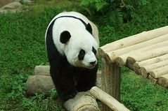 Fu Wa (福娃) aka Xing Xing 2016-06-17 (kuromimi64) Tags: zoonegara malaysia マレーシア 動物園 zoo nationalzoo zoonegaramalaysia kualalumpur クアラルンプール bear クマ 熊 panda giantpanda パンダ ジャイアントパンダ 熊猫 大熊猫 fengyi 鳳儀 liangliang fuwa 福娃 xingxing