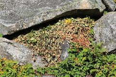 Pika Haystack (Zach Hawn) Tags: mountain wildlife wilderness wild outdoors pnw pacificnorthwest washington nationalpark mrnp mora hiking mountrainier mtrainier rainier hike alpine nature citsci citizenscience