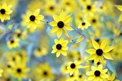 Black Eyed Susan (Mah Nava) Tags: coneflower rudbeckia gelb yellow blackeyedsusan