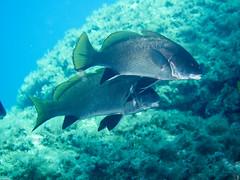 P9240176 (juredel) Tags: mrou juredel olympus corb oxygene plonge diving scull scubadiving scuba wallpaper la vacca lavacca cerbicales ilescerbicales