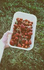 Strawberries. (SıłłчBøч) Tags: edit summer nikcollection summerwine lyric strawberries strawberry fruit fruits lanadelrey art hipster lovely grunge aesthetictumblr aesthetics tumblr food nature green slovakia czech slovakboy czechboy skalica village