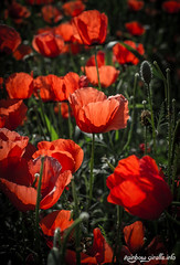 IMG_1054 (giraffes_fly) Tags: poppies poppy poppyfield red flowers flowerphotography