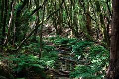 LaGomera2016 (yeray.ventura) Tags: roja bosque cedro paisaje naturaleza agua rio riachuelo corriente hdr