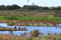 Img_3464 (steven.heywood) Tags: martinmere heron canadagoose greylag lapwing greyheron geese