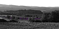 Lavender Field 2 (AmyEAnderson) Tags: lavender field bucolic countryside landscape foothills foothill monochrome bw blackandwhite purple grassland flowers
