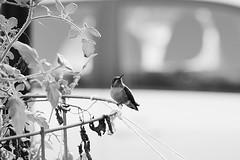 Just Chilling (FitzJohnson) Tags: hummingbird feeding bird nature wings nectar blackandwhite bw blackwhite canon canonrebel t3i 600d monochrome monochromatic