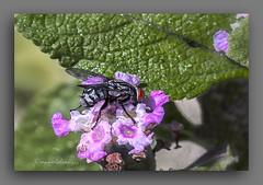 FLOR DE ERVA CIDREIRA. (manxelalvarez) Tags: ervacidreira melissa melissaofficinalis flores flora plantasmedicinales plantasaromticas
