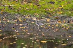 7K8A9033 (rpealit) Tags: scenery wildife nature east hatchery hackettstown alumni field solitary sandpiper bird