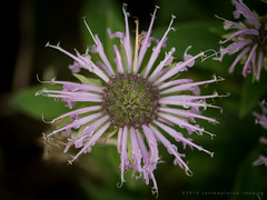 delicate (contemplative imaging) Tags: 2016 20160723 cifen20160723d7000 america american area center cloudy conservation contemplativeimaging day delicate digital district ep5 fen field flower flowers il ill illinois july macro mchenrycounty midwest midwestern natural nature olympus open overcast park photo photography prairie ronzack saturday stilllife storm stormy usa wildflower wildflowers lakeinthehillsfen