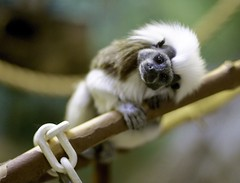 Cotton-headed Tamarin (Saguinus oedipus)_6 (guppiecat) Tags: saguinusoedipus cottonheadedtamarin