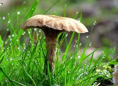 hidden in the grass (Foto Dominic (OFF)) Tags: macro mushroom grass drops raindrops gras paddestoel druppels regendruppels mygearandme mygearandmepremium mygearandmebronze fotodominic rememberthatmomentlevel4 rememberthatmomentlevel1 rememberthatmomentlevel2 rememberthatmomentlevel3 rememberthatmomentlevel7 rememberthatmomentlevel9 rememberthatmomentlevel5 rem