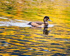 Colors Of Yellowstone (ivanpenaphoto) Tags: park bird animal national yellowstone