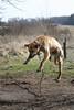 flying dog (gagilas) Tags: dog animal delete10 delete9 delete5 delete2 fly jump village delete6 delete7 delete8 delete3 delete delete4 deleted10 lithuania chained levitate kaimas šuo skraidantis