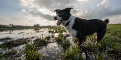 Mac in de polder (Bas Bloemsaat) Tags: dog mac collie action border hond bordercollie