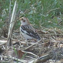 snow-bunting-IMG_8259-crop (mandovinnie) Tags: