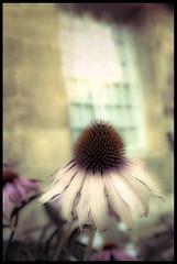 La dernière fleur (guerriere) Tags: aixenprovence