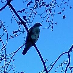 The Hawk (Jedediah28) Tags: beauty fly wings hawk watching sharp soar beack stil