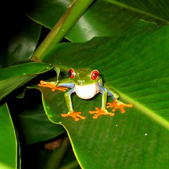 Red-eyed Treefrog (CRTTEAM) Tags: animals fauna flora costarica wildlife floraandfauna