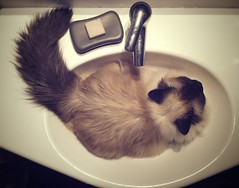 There's hair in the sink (*ZooZoom) Tags: comfortable cat nap sink decoration cream kenia perfectbed thereshairinthesink