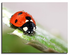 ~ Ladybird ~ (Ruth S Hart) Tags: uk ladybird essex 262 raynox250 thebistro roxwell supershots {explored} nikond5100