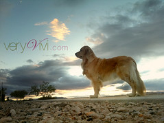 {46/52 2012} Sunset At Shimmering Ridge, Nevada Desert (VeryViVi) Tags: sunset dog goldenretriever horizon nevadadesert shimmeringridge 52weeksfordogsveryvivi