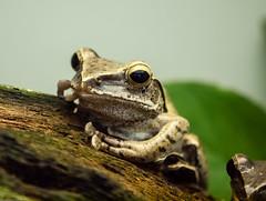 Frog Monday Face (katrin glaesmann) Tags: animal zoo stuttgart wilhelma atthezoo fourlinedtreefrog weisbartruderfrosch stripedtreefrog polypedatesleucomystaxcommontreefrog