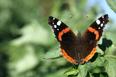 Ali di fuoco (Anfora di Cristallo) Tags: natura insetti farfalle vanessaatalanta lepidotteri vanesse macromarvels