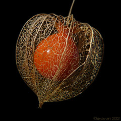 Heart of the matter (Lemon~art) Tags: heart chinese lantern physalis heartofthematter alkekengi magicunicornverybest magicunicornmasterpiece