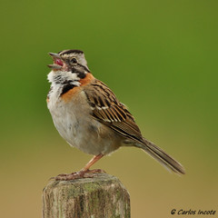 Tico tico (Rufous-collared Sparrow) (Carlos Incote) Tags: allofnatureswildlifelevel1 allofnatureswildlifelevel2 allofnatureswildlifelevel3 allofnatureswildlifelevel4 allofnatureswildlifelevel5 allofnatureswildlifelevel6