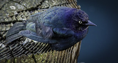 Little Birdie (ronWLS) Tags: bird water bay harbor stump 2012joshualuteweddingcaliforniacoasttrip