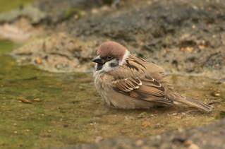 Sparrow in Hong Kong, China (Explored)