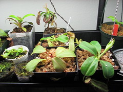 New hybirds settling in (Thagirion3) Tags: plants black n x tropical pitcher carnivorous nepenthes sanguinea ventricosa spathulata eymae robcantleyi clipetata