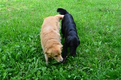 Zak and Nur (Ginevra Tagliafichi) Tags: green goldenretriever puppy countryside puppies country stick zak countrylife flatcoatedretriever nur playingdogs ginevratagliafichi