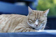 sleep disturbance (Seakayem) Tags: cat sleep sony kitteh canberra 135 pentacon f28 slt bonkers a55 bokehmonster