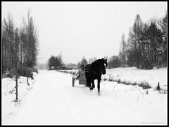 In the Snowstorm (mmoborg) Tags: road horse snow storm wagon sweden snowstorm sverige snö hagar väg häst paddocks vagn stängsel snöstorm thepinnaclehof kanchenjungachallengewinner tphofscore5011 tphofweek179