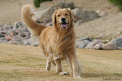 Murphy (Tom_Morris Photos) Tags: dog golden retriever murphy