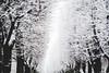 White #338/365 (A. Aleksandravičius) Tags: winter white snow macro ex nikon sigma apo explore ii 365 70200 f28 dg 2012 kaunas 70200mm project365 hsm 365days explored d700 laisvėsalėja 338365 nikond700 3652012