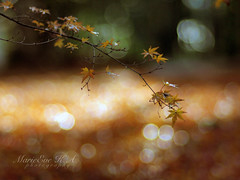 Autumn is passing (Marie Eve K.A. (Away)) Tags: autumn light plants brown sunlight colour green fall nature zeiss botanical kyoto dof bokeh f14 ngc 85mm mapleleaf olympuspen kinkakuji japon planar ep2 kinkakujitemple lateautumn