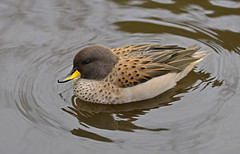 Yellow Billed Teal (Starman_1969) Tags: geese bill duck swan teal cygnet goose mallard coot pochard moorhen martinmere