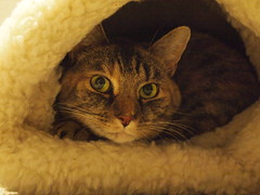 Kitty Igloo (Raccoon Photo) Tags: portrait rescue pet cats cute green beautiful beauty face animal cat nose intense paw eyes friend kitten feline sleep tabby adorable kitty ears personality cutie pixie pillows whiskers pillow greeneyes sleepy whisker snooze aww tortie paws cuteness shelter awe cateyes adopted adopt stardust cuteface rescuecat catty animalportrait snoozer torbie sheltercat tortishelle