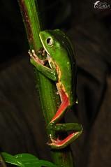 Phyllomedusa distincta (Renato Gaiga) Tags: brazil amphibians herpetology atlanticforest anfíbio