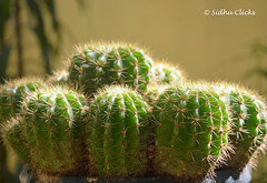 Cactus (sidhu Clicks) Tags: morning summer arizona cactus white plant abstract west detail macro tree green nature beautiful beauty succulent stem flora gallery close desert skin vibrant background space grow dry vegetable sharp petal mexican health heat pear tropical spike spine care shape botany thorn pure prickly cure stalk arid bitter pondicherry cosmetic heal greenscreen isolate sidhuclicks