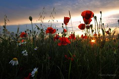 Bleu vert rouge (photosenvrac) Tags: nature fleur champ herbe coquelicot jachere thierryduchamp