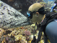 Cod Kisss (Jaybre) Tags: blue sea fish nature water kiss underwater turtle gorgeous great australia scuba diving potato anemone barrier reef cod osprey wrasse suba mikeball
