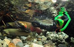 Tolerance (Fish as art) Tags: snorkel pacificcoast saumon coho closetonature ikelite cohosalmon salmonrivers salmonidae salmonids salmonconservation touchingwildanimals paulvecseiunderwater