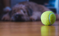 Day 351 - Too Tired to Play (dennisdasfoto) Tags: dog pet oneaday animal ball dof bokeh depthoffield tennis hund photoaday husdjur boke haustier tier pictureaday djur boll softcoatedwheatenterrier project365 dt50mmf18sam