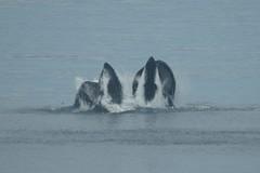 2016-07-22 S9 JB 102641##co (cosplay shooter) Tags: humpback humbackwhale buckelwal wal norwegen norway polarkreis nordpolarkreis nordkap northcape arcticcircle x201608 norge 100z